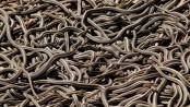 serpi
