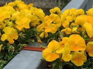 flori timisoara